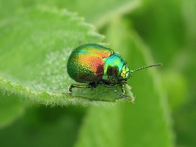 Colorful horned beetle - photo#10