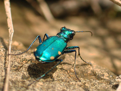 Beetles | Causes of Color