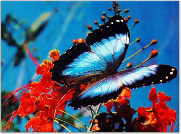 293af0bd41d Blue Morpho butterfly (Morpho menelaus). This brilliant blue butterfly can  be found in the rain forests of South America (Brazil   Guyana).