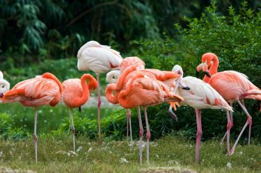Flamingos Causes Of Color