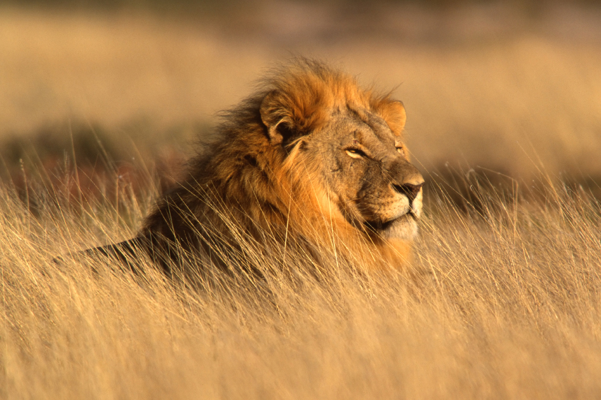 animals causes of color a lion s coloring is produced by melanin