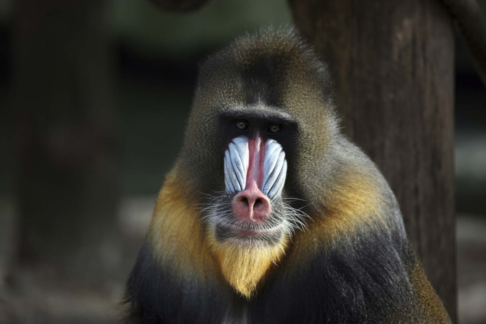 animals causes of color tawny and brown shades of fur on this mandrill contrast blue and red markings in areas devoid of fur