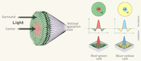 Retinal Ganglion Cells Calculate Color